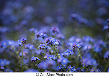 Fine art image of forget-me-not Myosotis Scorpioides phlox flower in Spring overflowing from vintage planter box