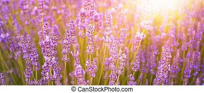 Beautiful image of lavender. - Beautiful image of lavender...