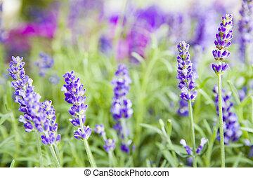 Beautiful image of lavender field.