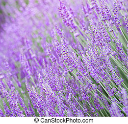 Beautiful image of lavender field.