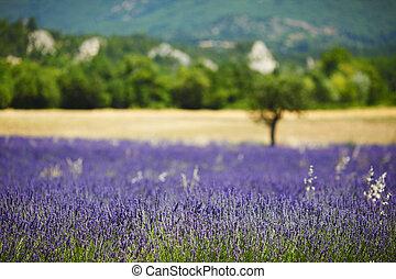 lavender field - beautiful image of lavender field