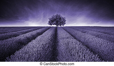 Beautiful image of lavender field landscape with single tree...