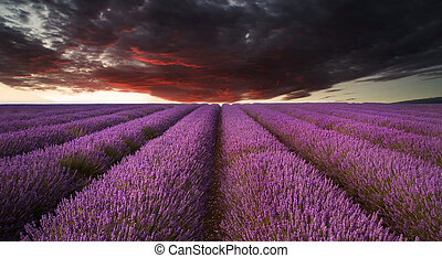 Beautiful image of lavender field Summer sunset landscape under red stormy sky