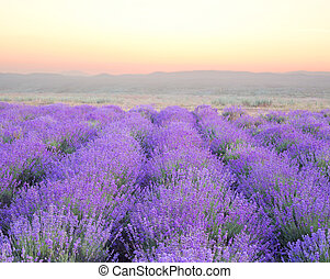 Beautiful image of lavender field over ummer sunset...