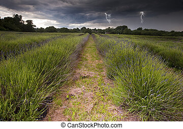 Beautiful image of moody dramatic storm clouds over vibrant lavender fields in countryside landscape with bolts of lightening