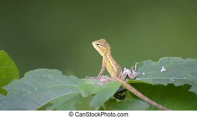 Beautiful Indian gecko on a bush looking out , green foliage...