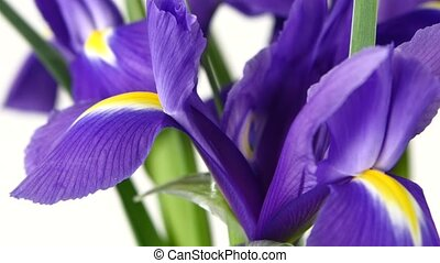 Beautiful iris flowers on white, rotation, close up