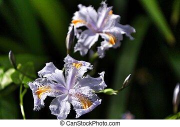 Beautiful Iris japonica in the garden