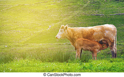 beautiful irish rural countyside photograph with cows in a green field.