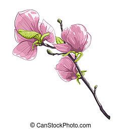 beautiful isolated twig blossoming magnolia tree.