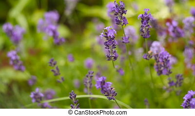 Beautiful Italian lavender on  flower bed in  garden