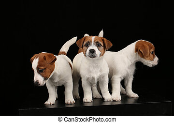 Beautiful jack russells babies. Close up. Black background