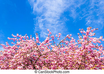 Beautiful Japanese cherry tree blossom in May