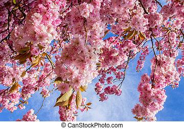 Beautiful Japanese cherry tree blossom