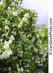 Beautiful jasmine flowers in the garden, summertime