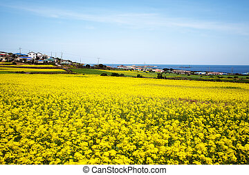 Beautiful Jeju Island in South Korea,Rape flowers