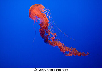 jelly fishes in blue sea - beautiful jelly fishes in blue ...