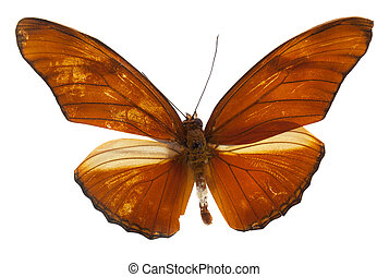 Beautiful Julia Heliconian (Dryas iulia) butterfly isolated ...