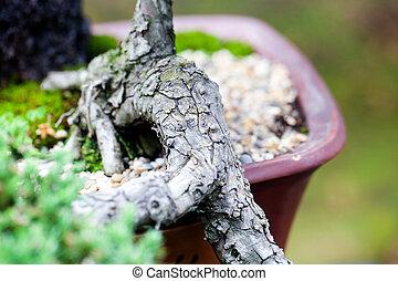 beautiful juniper bonsai in a botanical garden