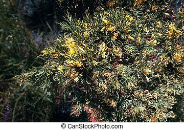 Beautiful juniper Bush blooming in the garden