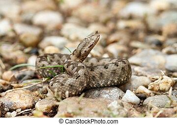 beautiful juvenile nose horned viper