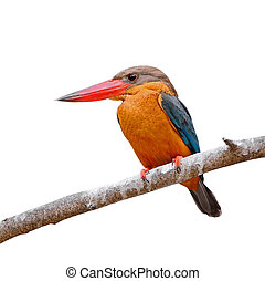 Beautiful Kingfisher bird, Stork-billed Kingfisher (Halcyon capensis), standing on a branch, breast profile, isolated on a white background