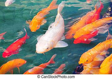 beautiful koi fish