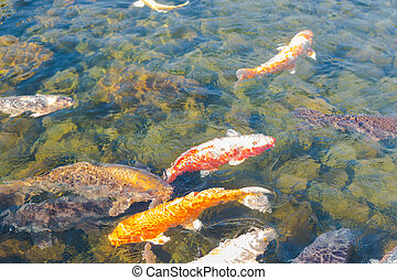 Beautiful golden koi fish in the fish ponds for Koi pond you can swim in