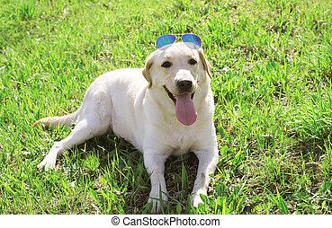 Beautiful labrador retriever dog in sunglasses lying on the grass