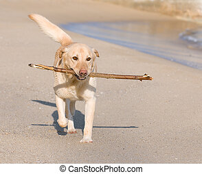 Labrador Retriever dog playing on the beach