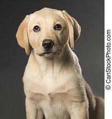 Beautiful Labrador retriever isolated on black background - ...