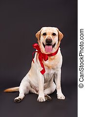 Beautiful labrador with red ribbon on neck.