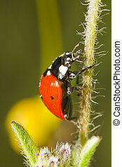 Close view detail of a ladybug (coccinellidae) beetle.