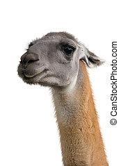 Beautiful lama portrait
