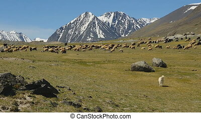 Beautiful landscape, a herd of sheep in the Alpine mountains.