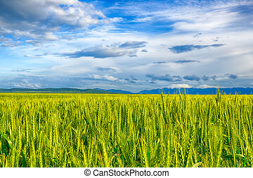 Beautiful landscape field of wheat, cloud and mountain. HDR...