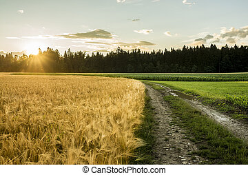 Beautiful landscape image of golden wheat filed and green ripening corn field divided by country road