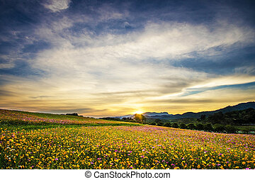 beautiful landscape image with cosmos flower field at sunset.