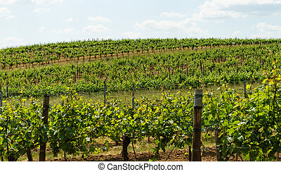 Tokay grapes - Beautiful landscape in the Tokay grapes - ...