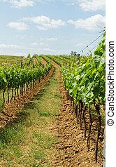 Tokay grapes - Beautiful landscape in the Tokay grapes -...