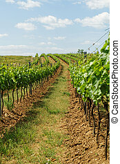 Tokay grapes - Beautiful landscape in the Tokay grapes -...