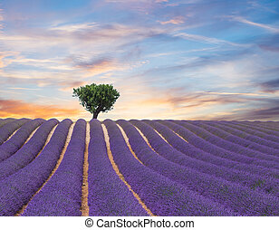 Beautiful landscape of blooming lavender field in sunset, ...