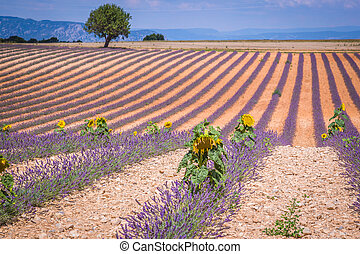 Beautiful landscape of blooming lavender field, lonely tree uphill on horizon. Provence, France, Europe.