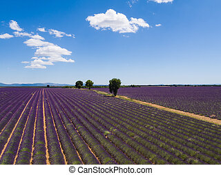 Beautiful landscape of blooming lavender field