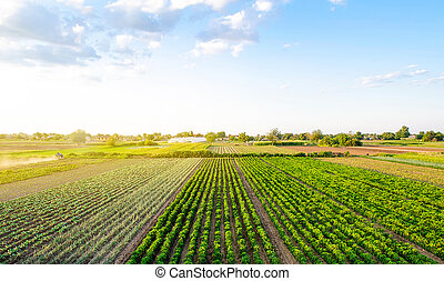 Beautiful landscape of farm fields. Cultivation of crops, production of food and raw materials. Top view of the countryside. Agriculture land and farming. Pepper plantation, leek, cabbage