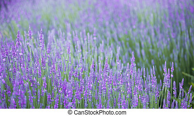 Beautiful landscape of lavender.