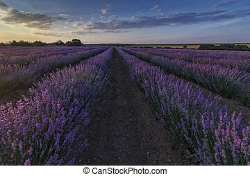 Beautiful landscape of lavender fields at sunset with dramatic sky