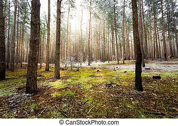landscape of pine forest at sunny spring day