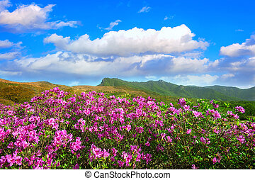 Beautiful landscape of Pink rhododendron flowers and blue sky in the mountains, Hwangmaesan in South Korea.