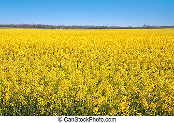 Beautiful landscape of Rapeseed fields